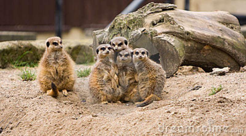 Meerkat family post
